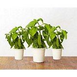 Recharge jardin intérieur Click And Grow  Basilic lot de 3