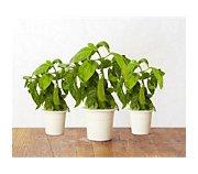 Click And Grow Basilic lot de 3