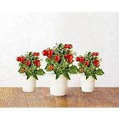 Recharge jardin d'intérieur Click And Grow Mini tomates lot de 3
