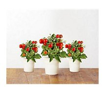 Recharge jardin intérieur Click And Grow  Mini tomates lot de 3