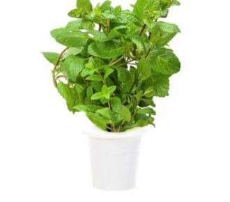 Click And Grow Menthe Poivrée (lot de 3)