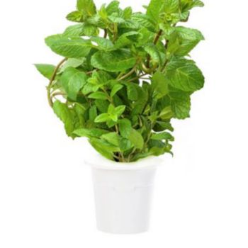 Click And Grow Menthe poivrée lot de 3