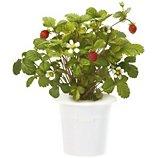Recharge jardin d'intérieur Click And Grow  Fraises lot de 3