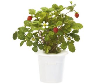 Click And Grow Fraises (lot de 3)